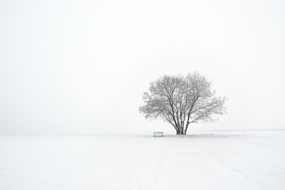 lone bare tree coated with snow