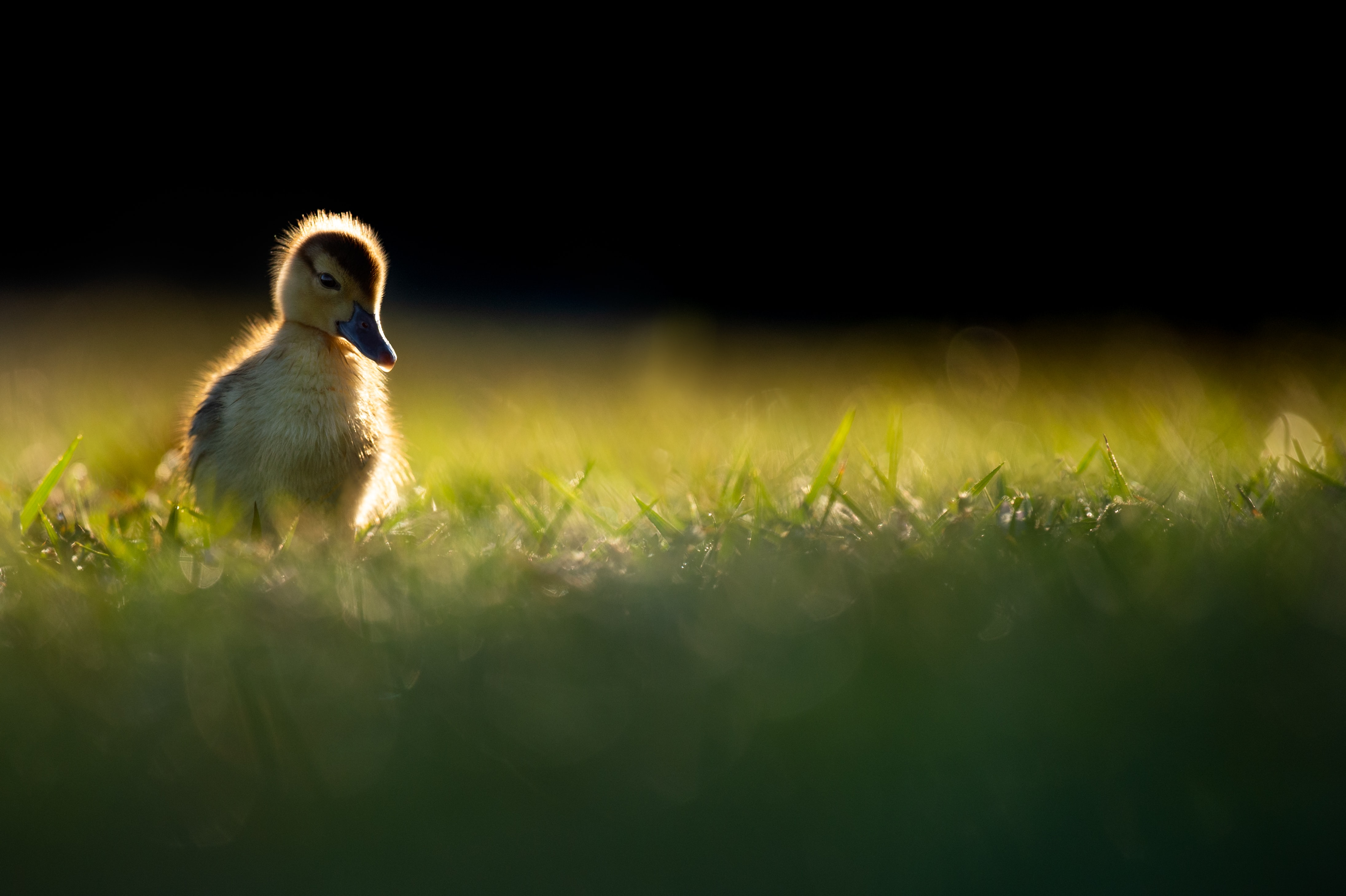 yellow and gray ducklings on green grass in selective-focus photography