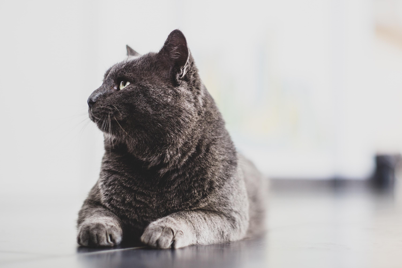 black cat prone lying on surface