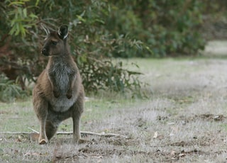 shallow focus photo of brown kangaroo near plants during daytime
