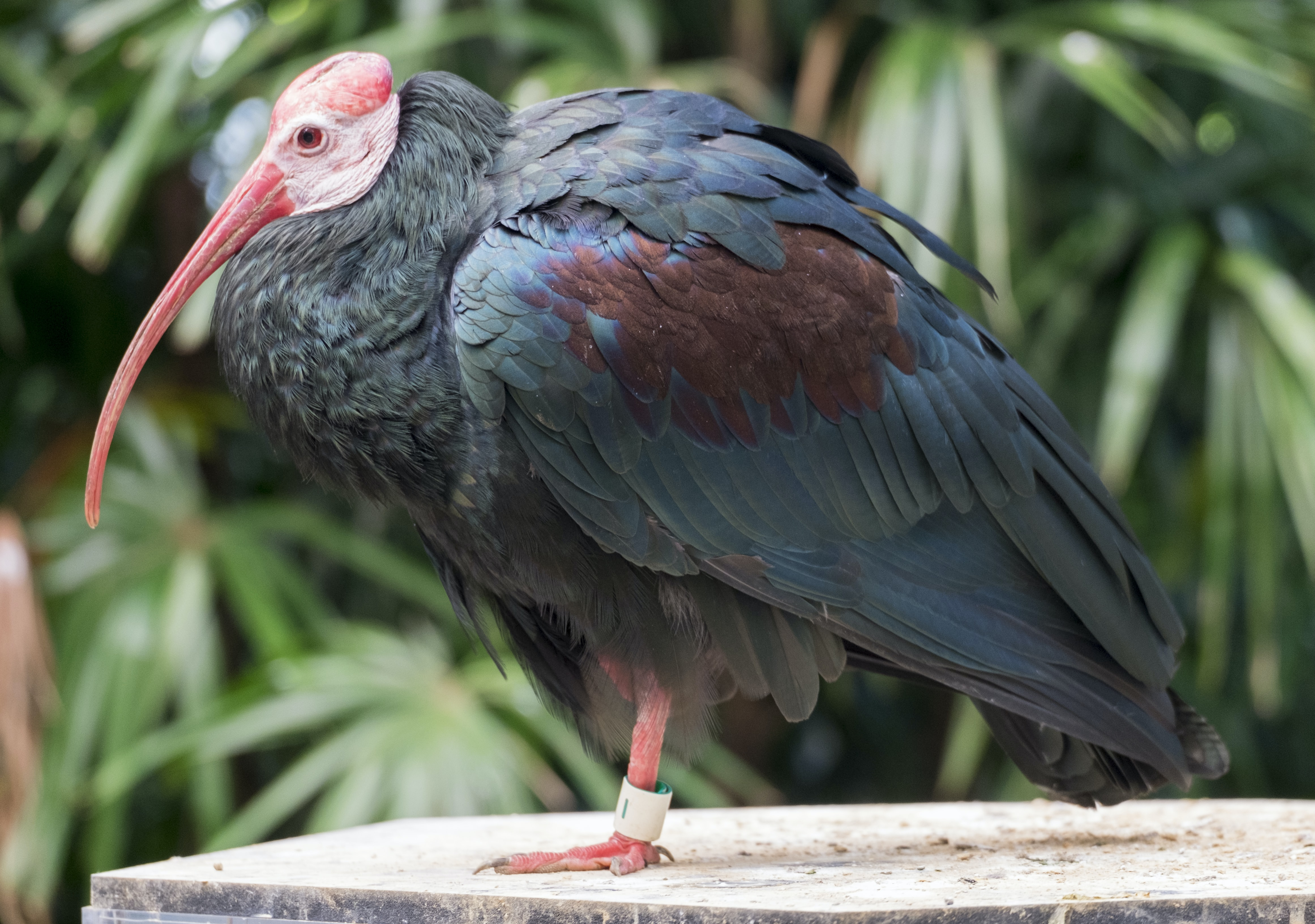 selective focus photography of bald ibis