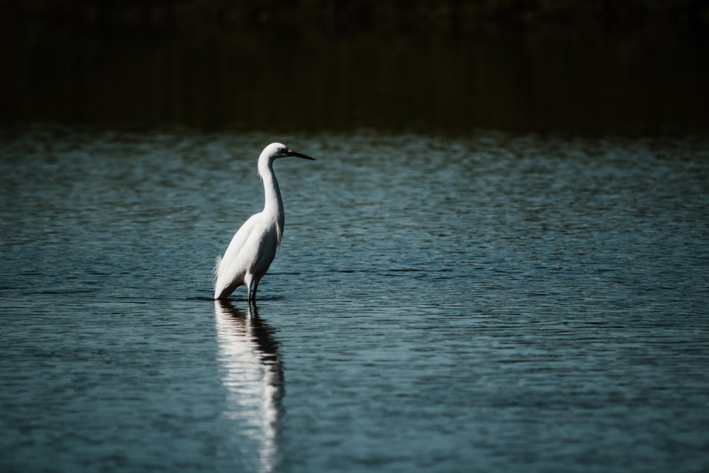 white swan on calm body of water
