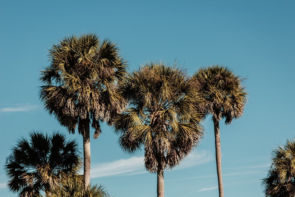 five tall green palm trees under blue sky