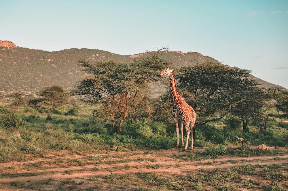 brown giraffe eating tree leaf during daytime