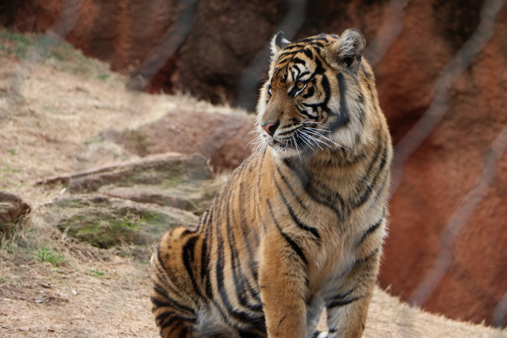 tiger sitting on brown grass during daytime