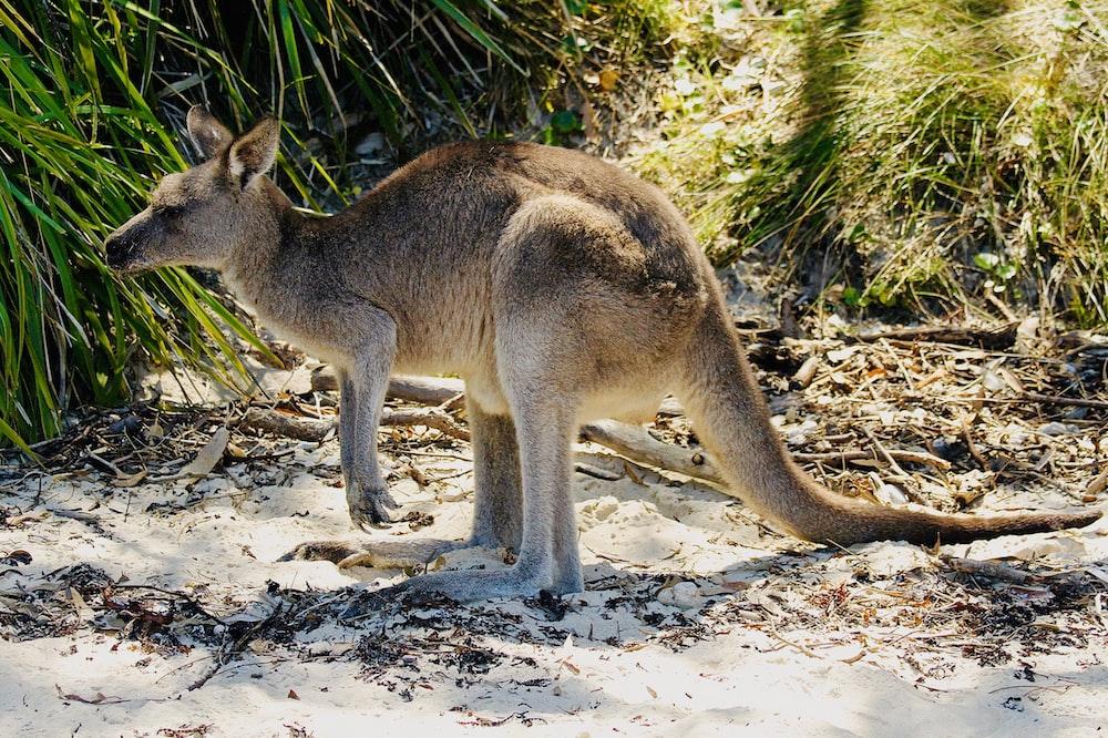 kangaroo near green-leaf plants during daytime
