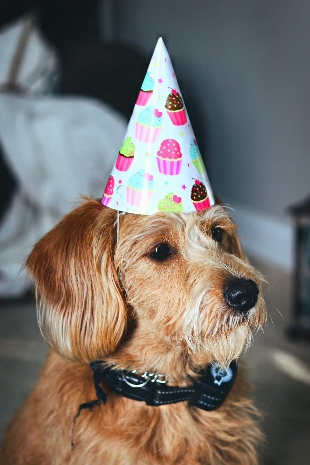 medium-coated brown dog wearing party hat