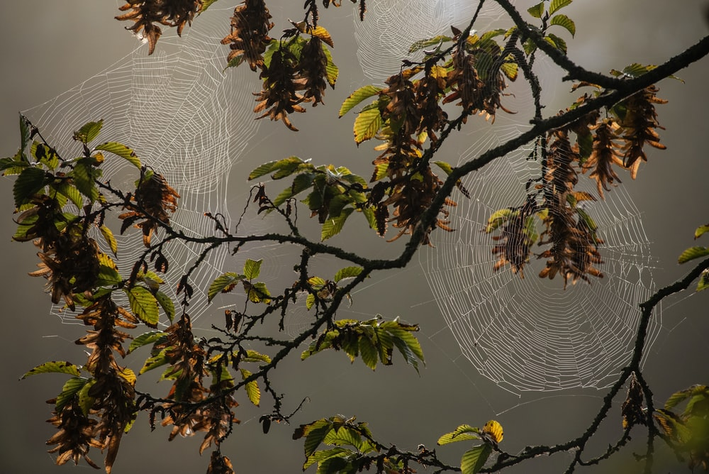 two cobweb on branch of trees