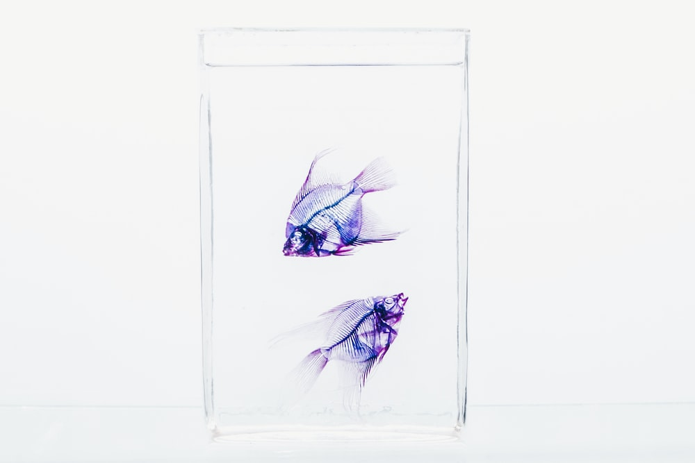 two purple fish on glass