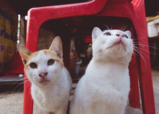 two white cats sitting under red monobloc chair