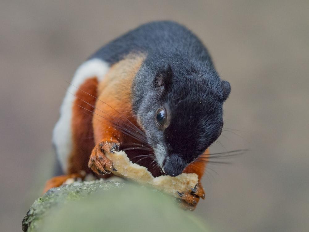 black, orange, and white squirrel