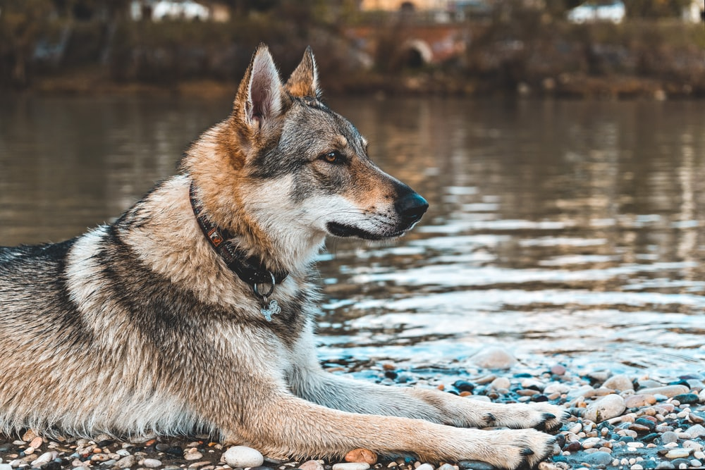 close-up photography of dog sitting beside calm water