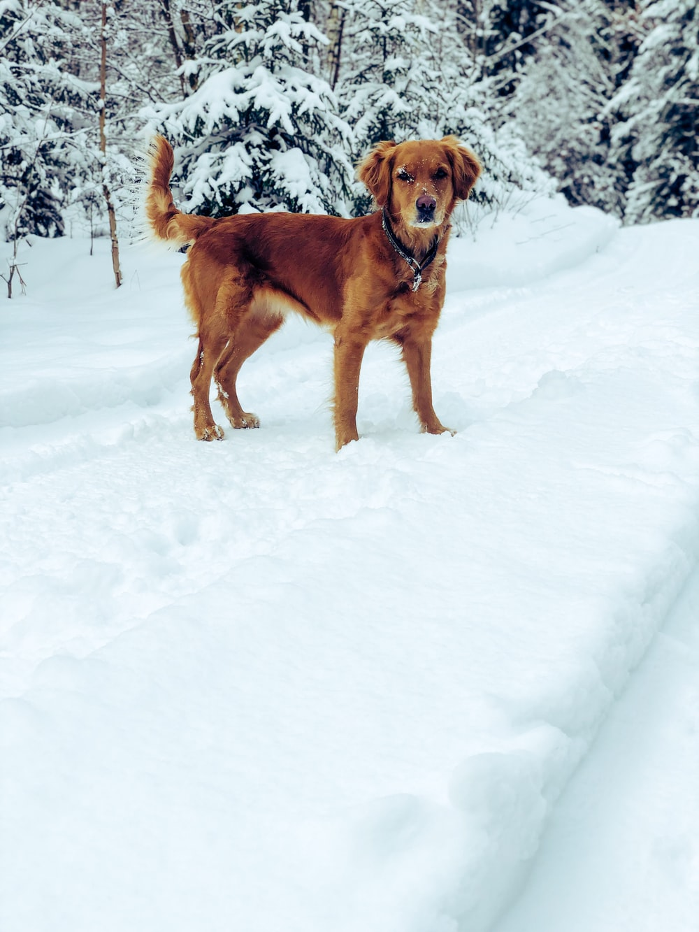 chocolate retriever in filed covered with snow