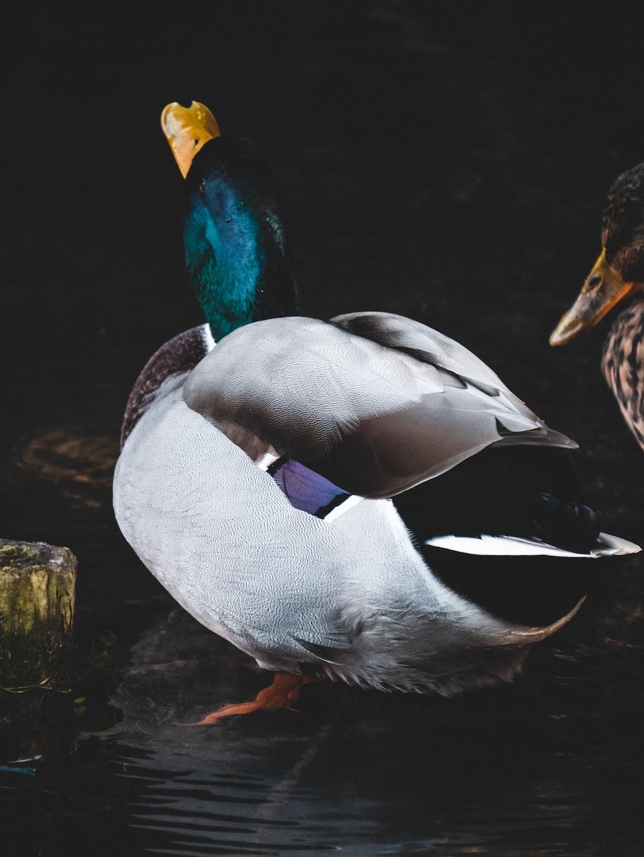 white and green mallard duck