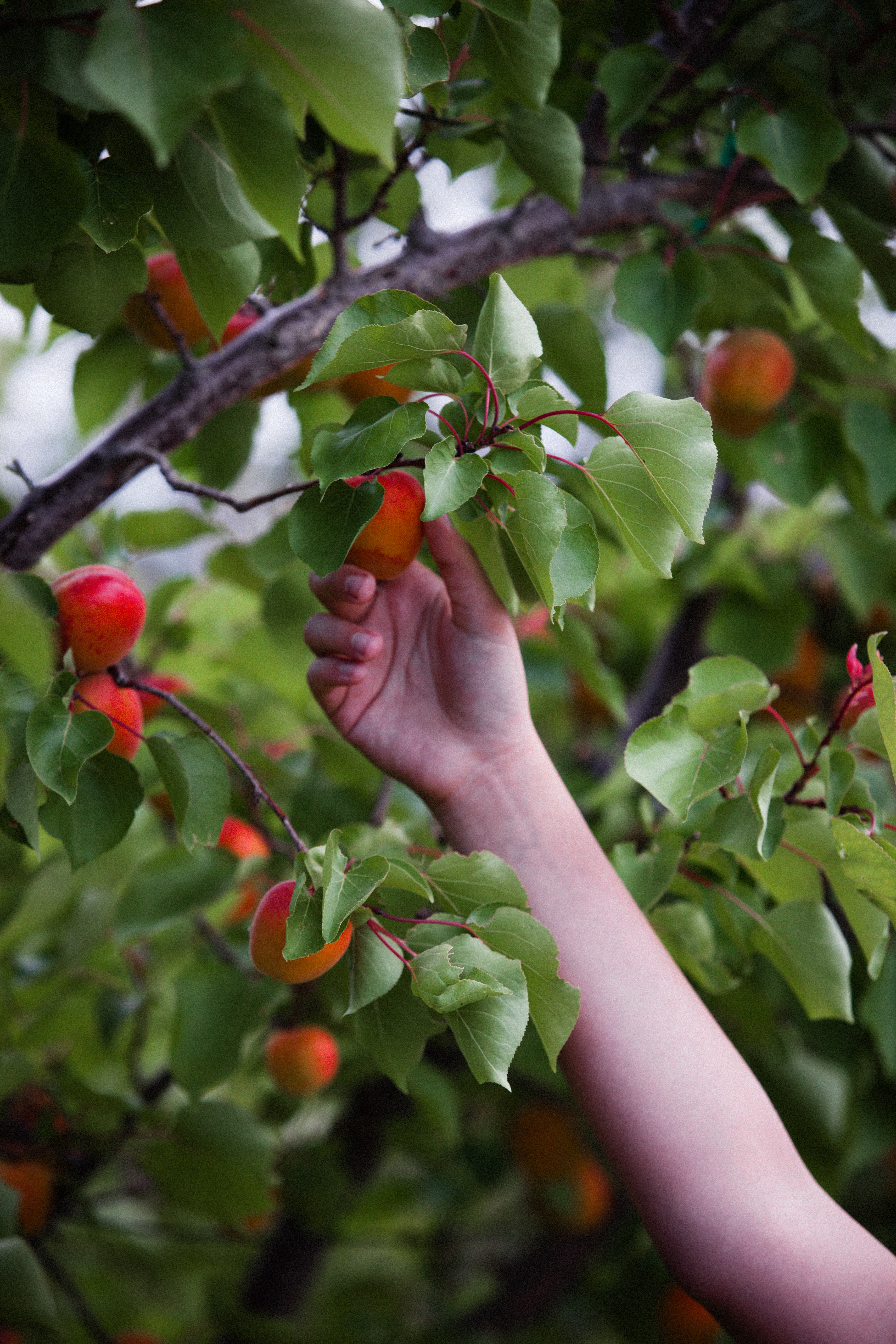 person picking red fruits