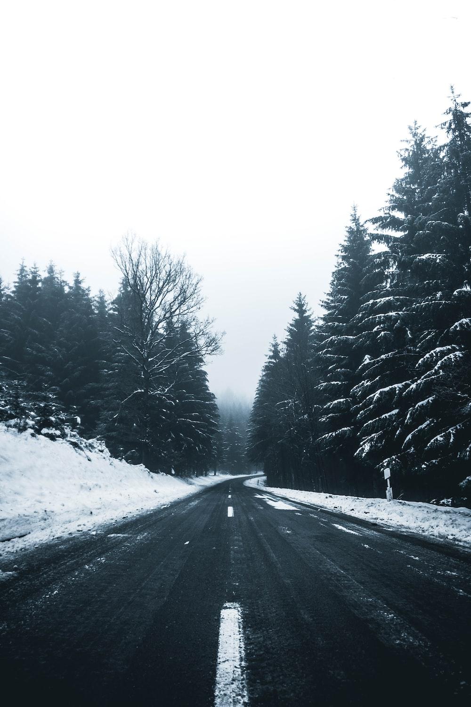pine trees beside empty road