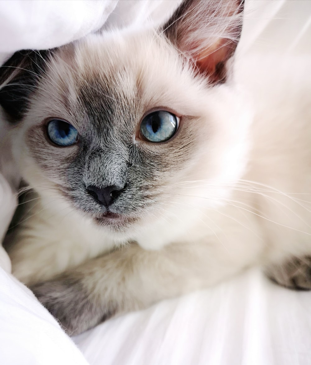 white and gray cat lying on white textile