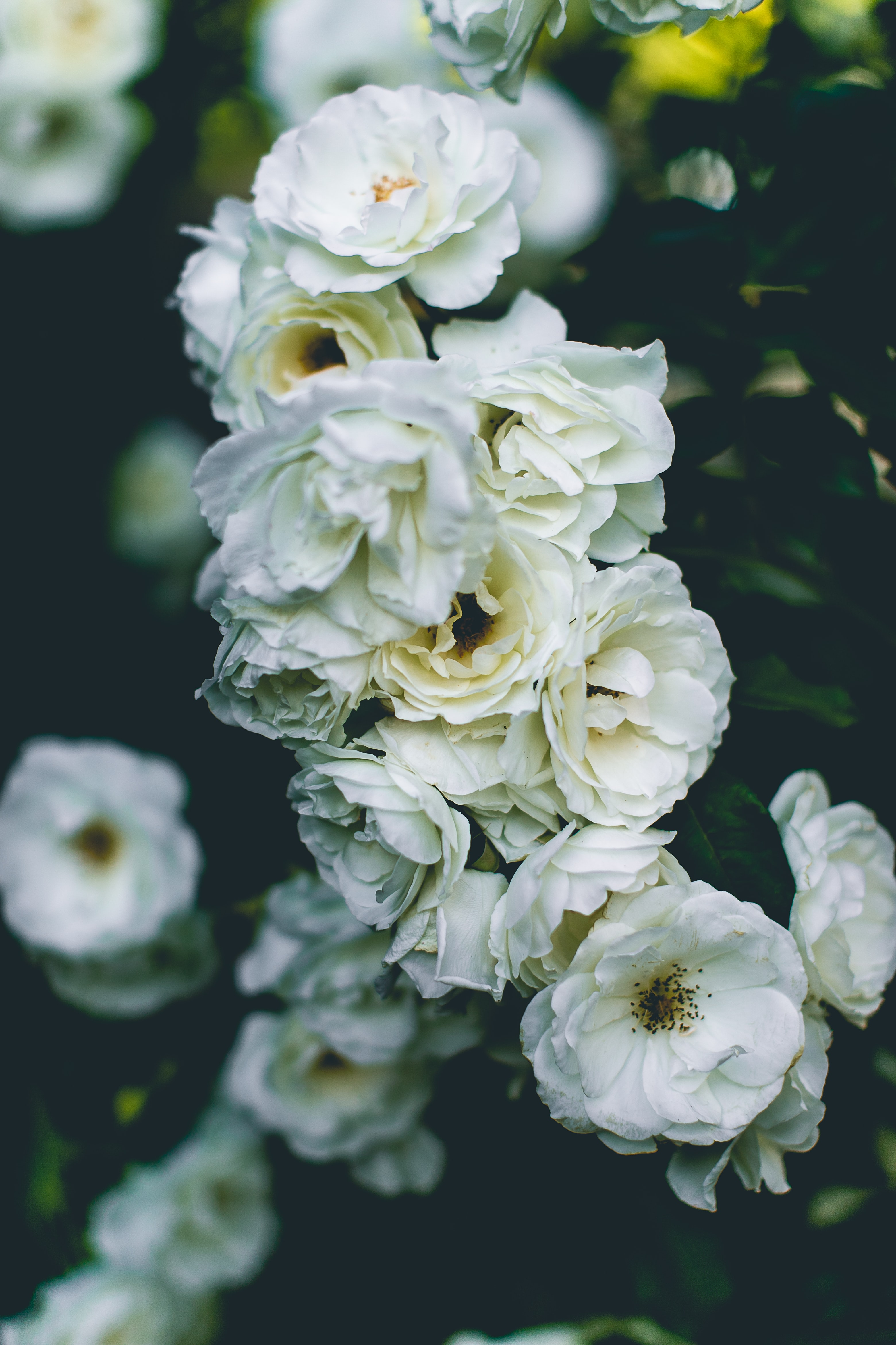 white petaled flower bloom close-up photography