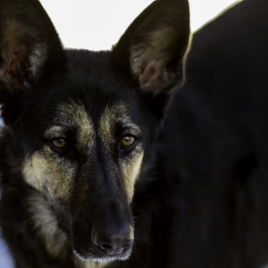 adult black and tan German shepherd on focus photography