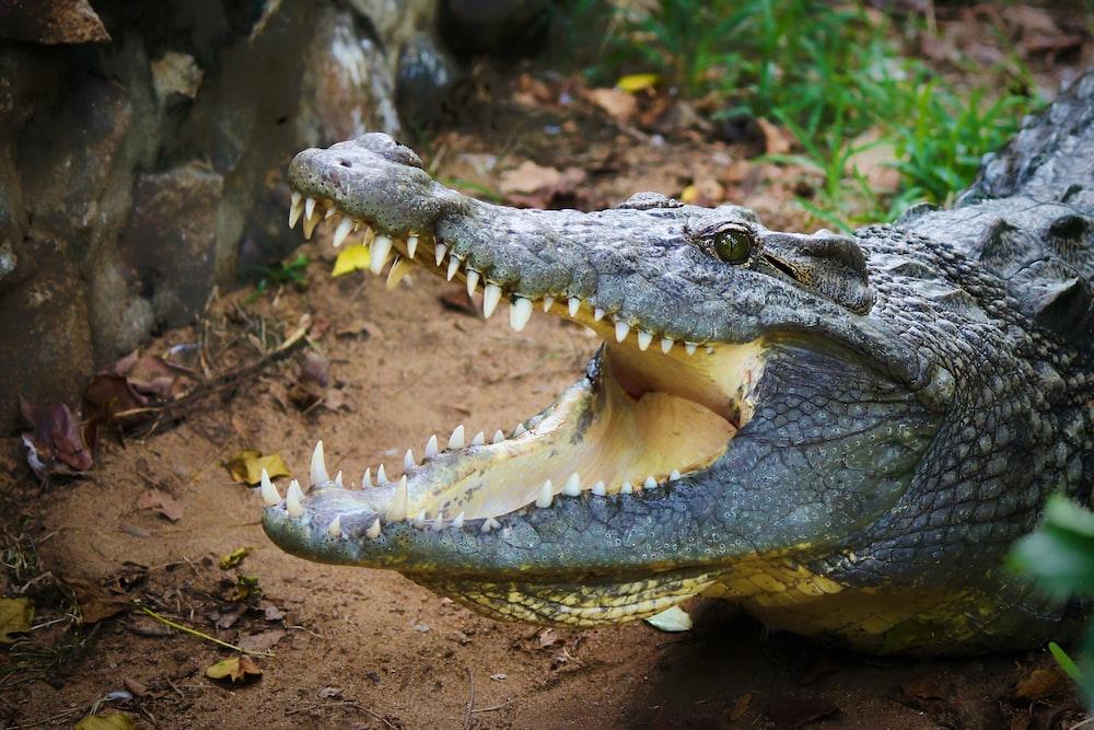 shallow focus photo of gray alligator