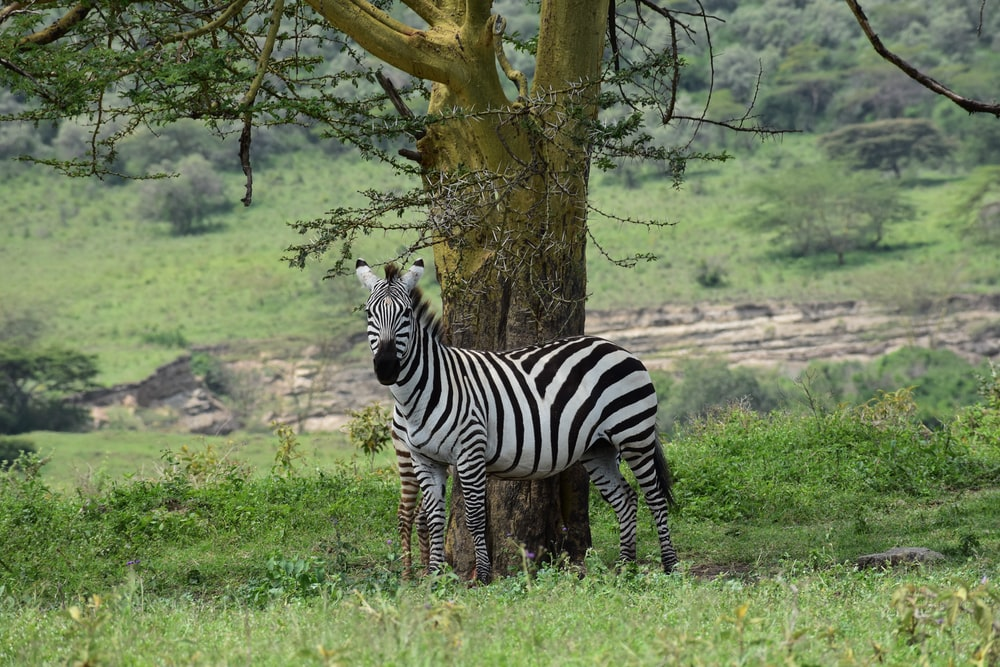 zebra standing near tree during daytime