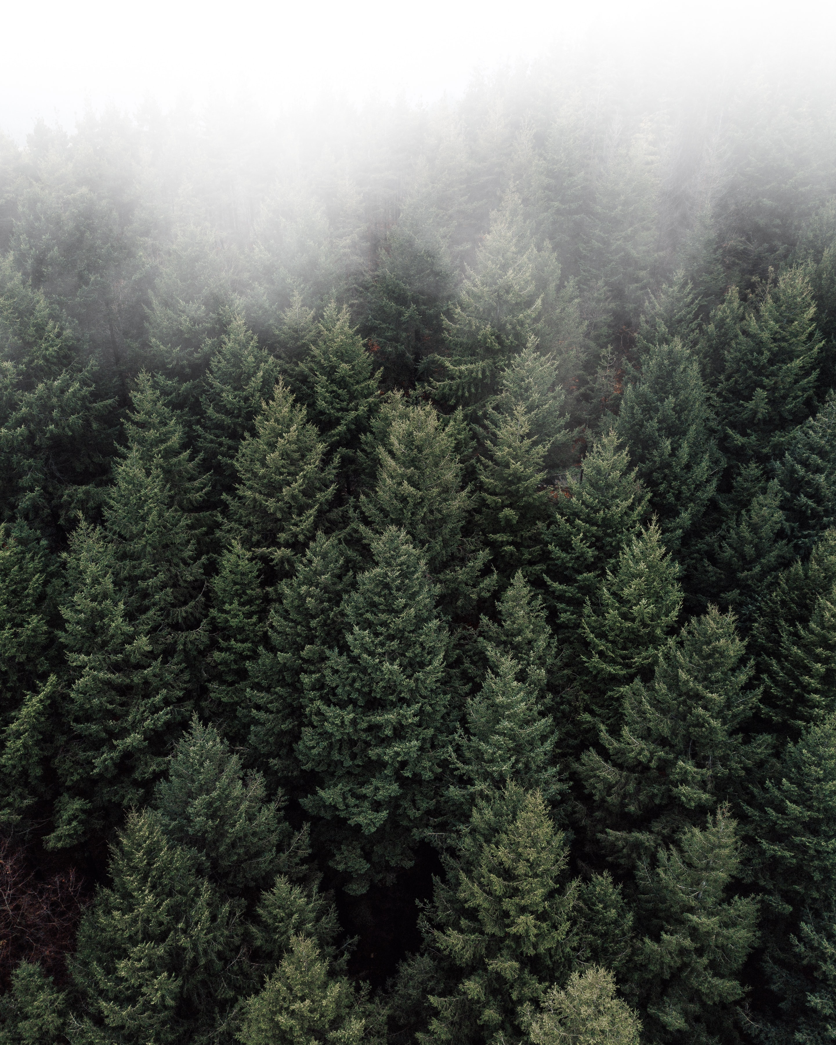 aerial photography of pine trees during foggy weather