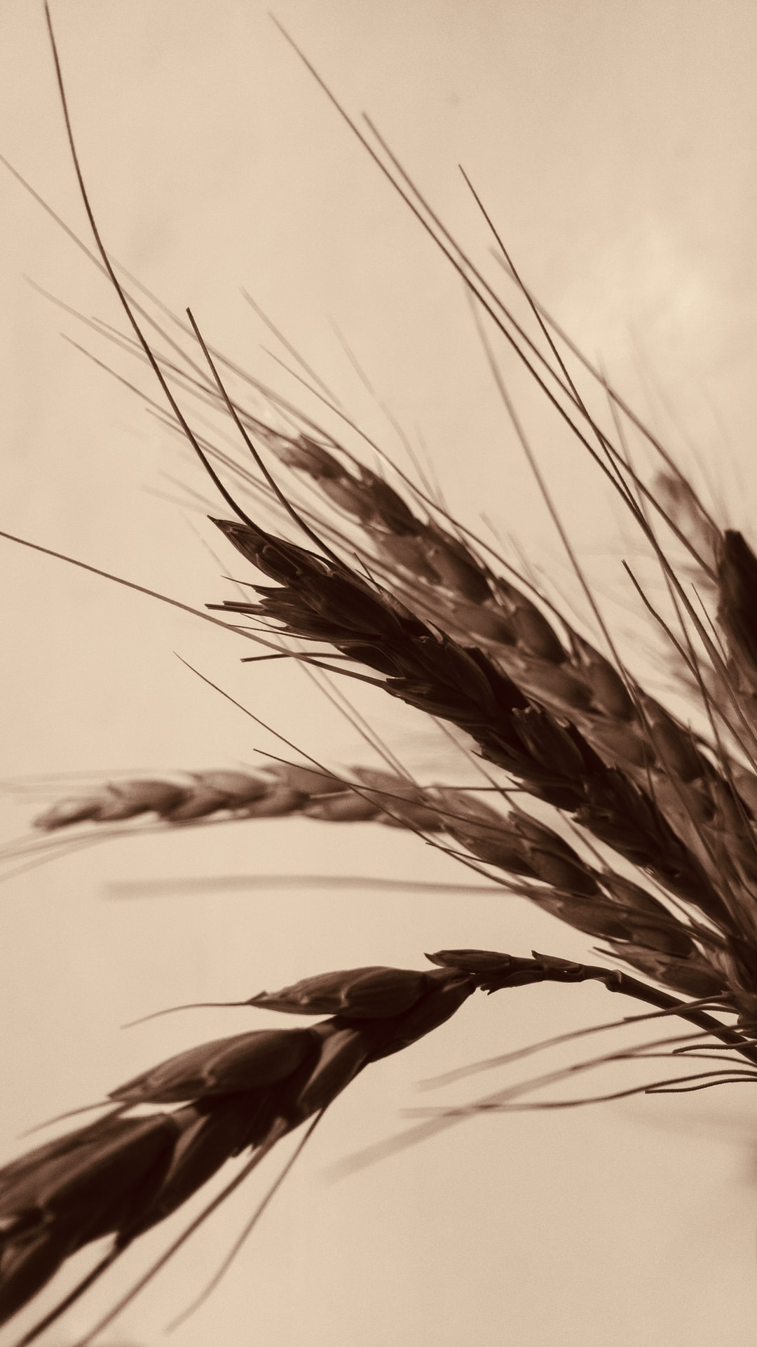Wheat clusters