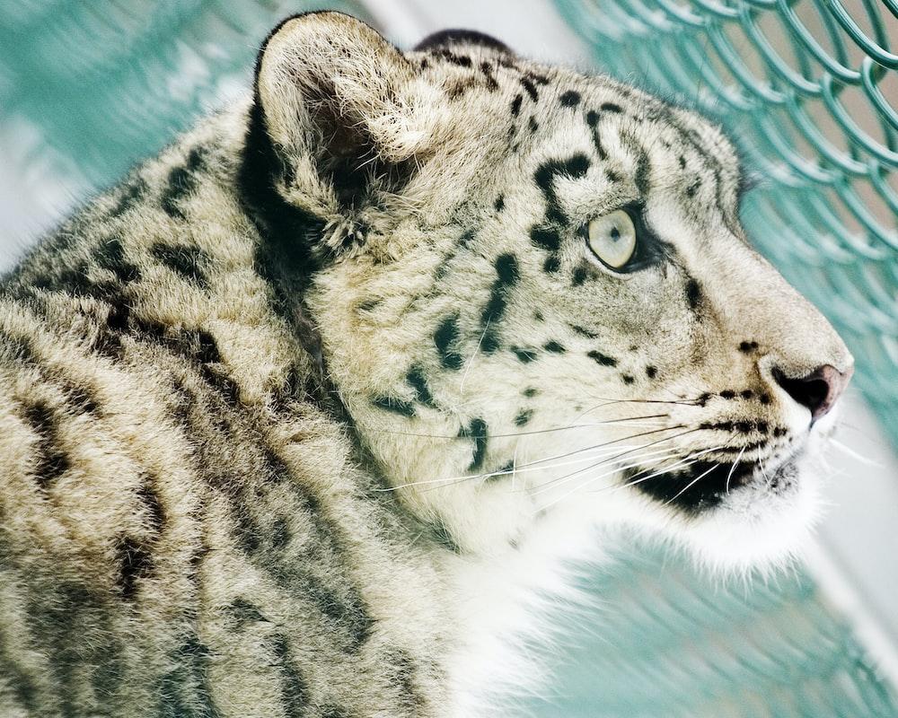 cheetah photo