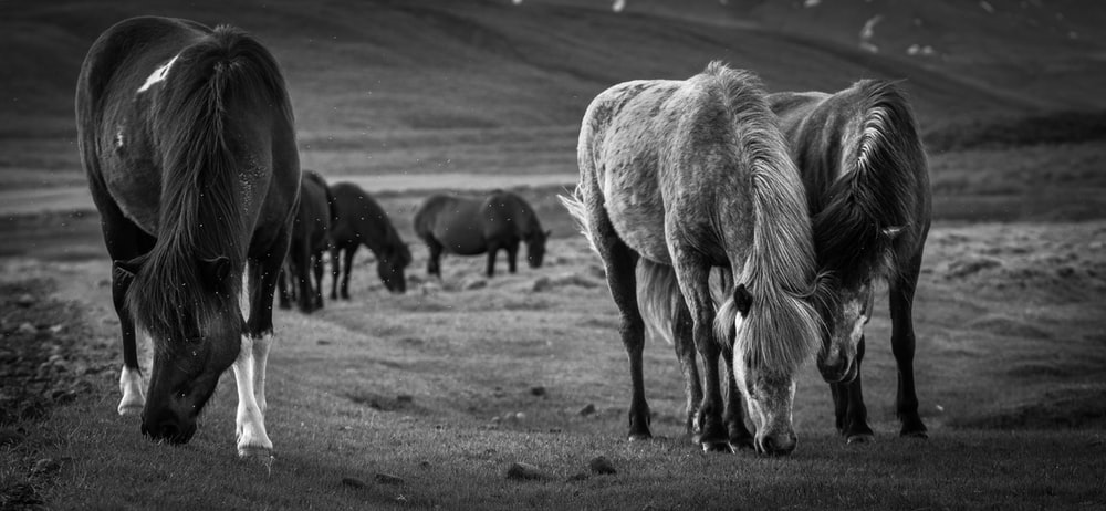 grayscale photography of horses on grass field