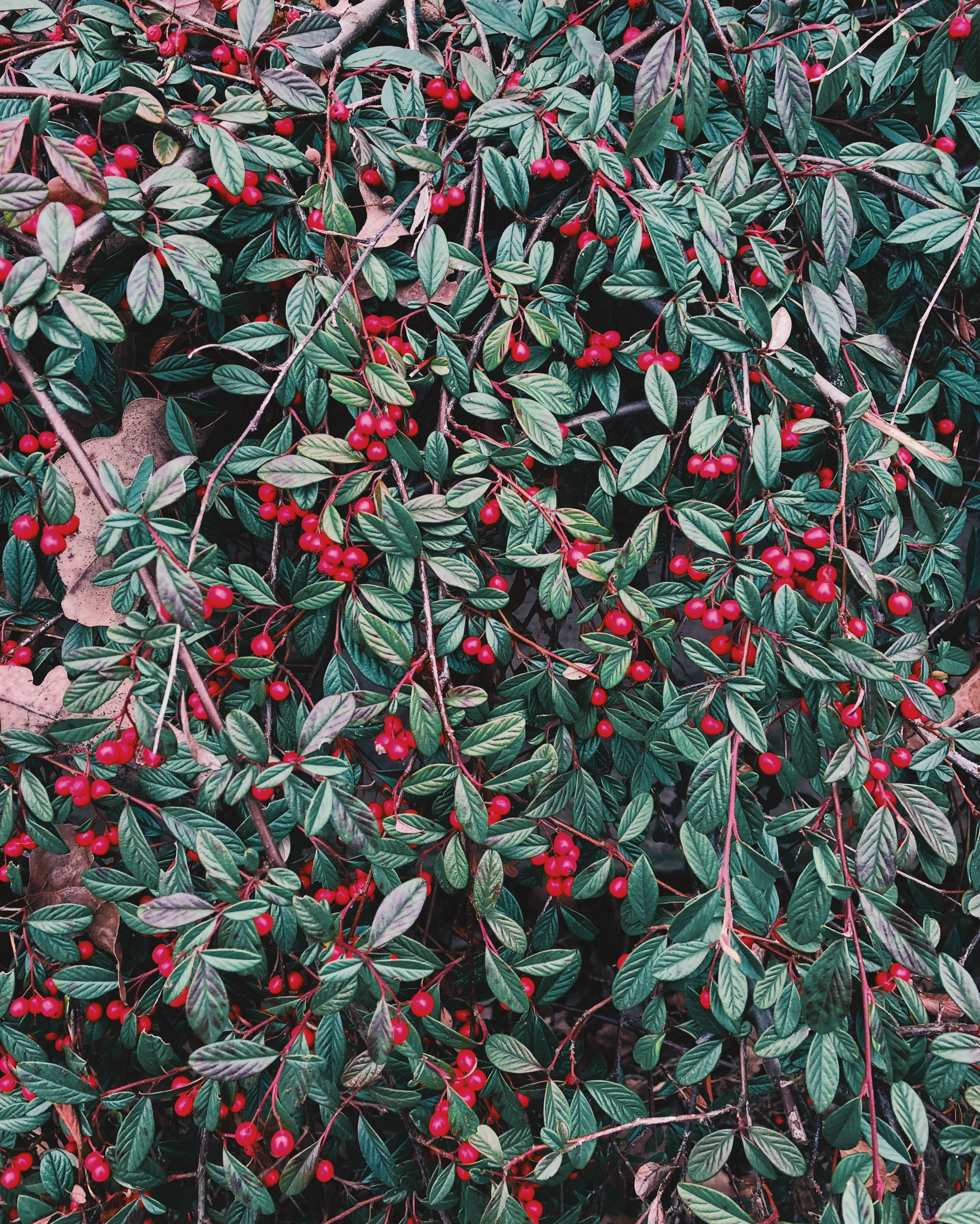 photograph of red fruits and leaves