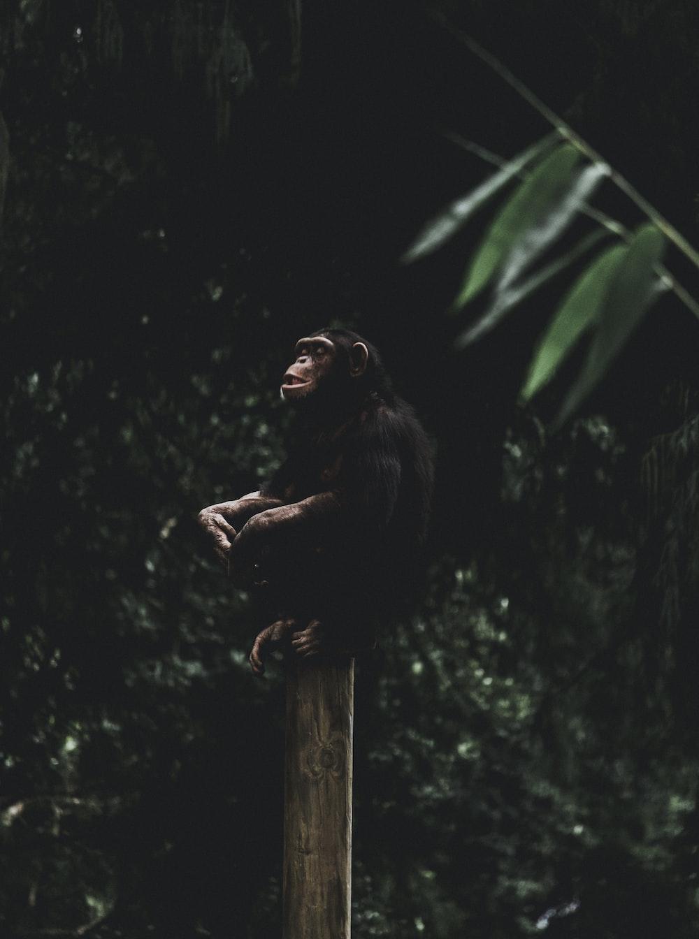black chimpanzee on wooden post