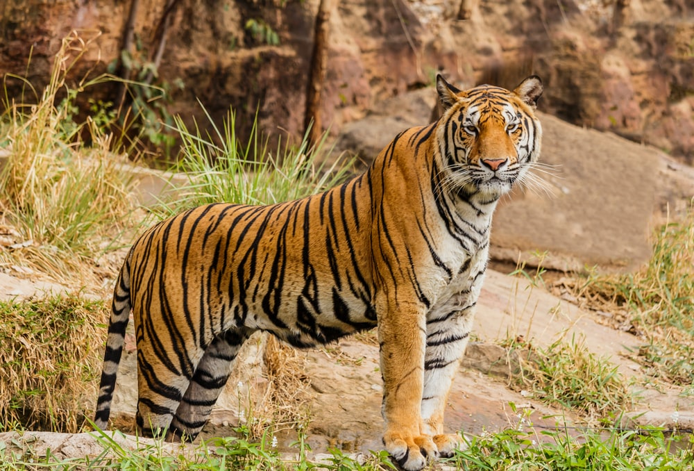 brown and black tiger on focus photography