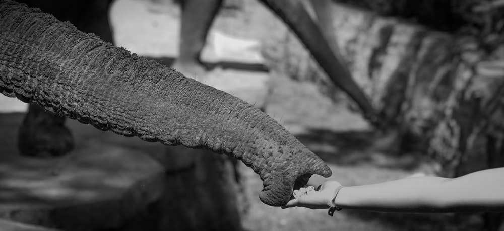 black and white photograph of elephant tusk holding person's hand