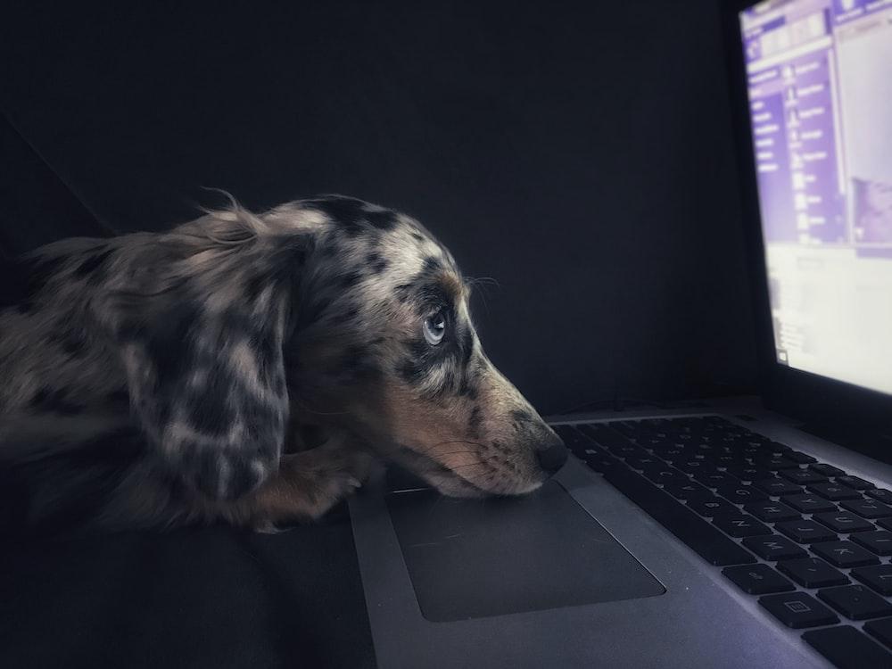 brown dog watching on laptop computer