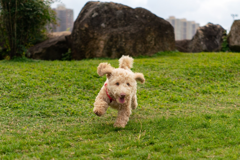 curly-coated brown puppy running on green field