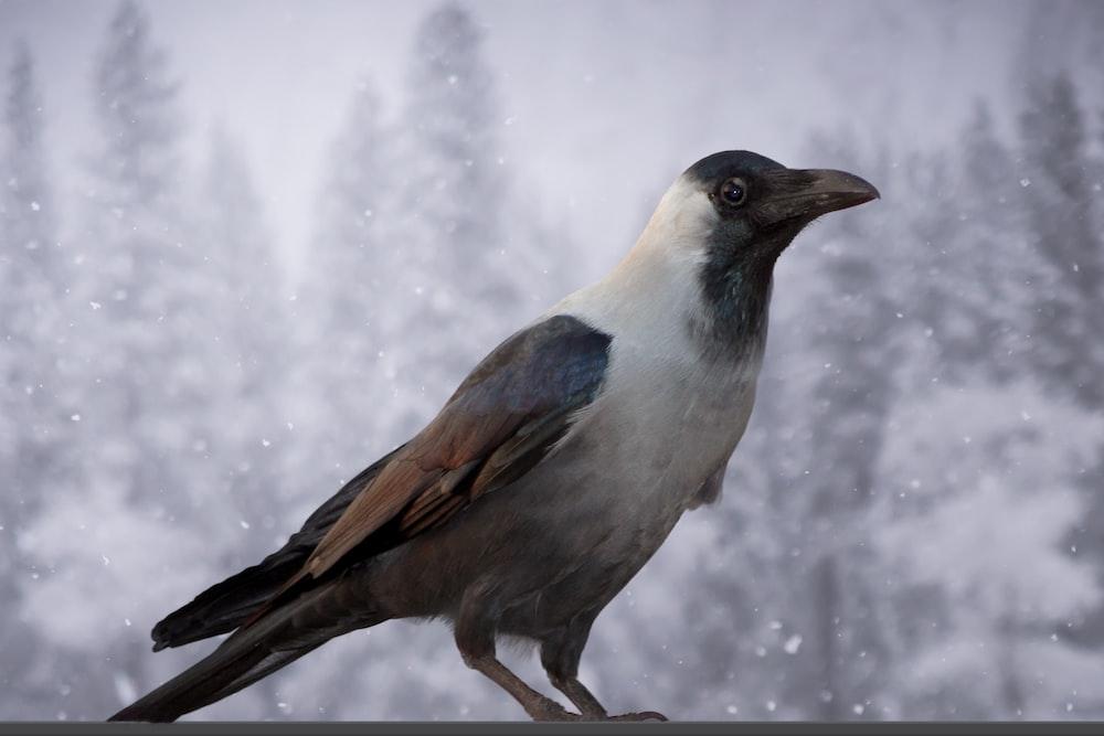 large-beaked brown, white, and black bird