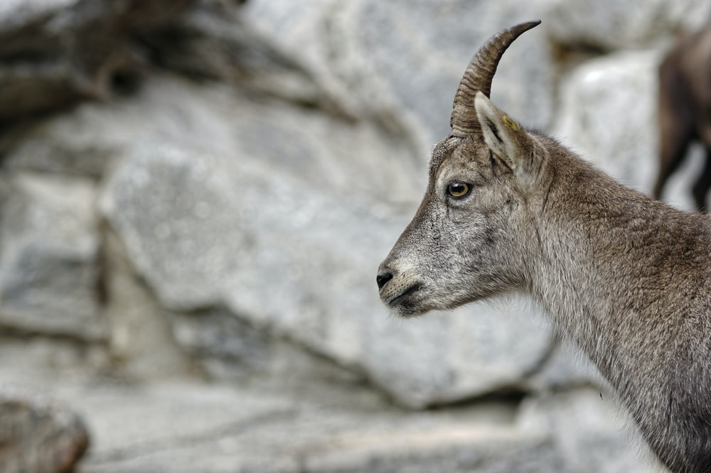 selective focus photography of horned gray animal near rocks