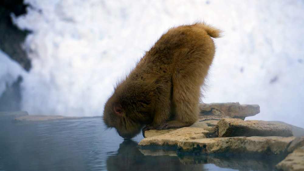 brown baboon drinking water