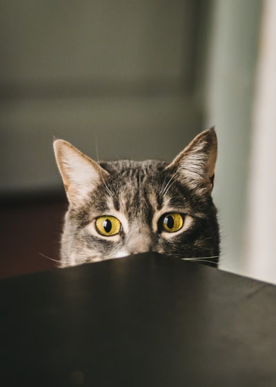 selective focus photography of gray cat peeking at the table