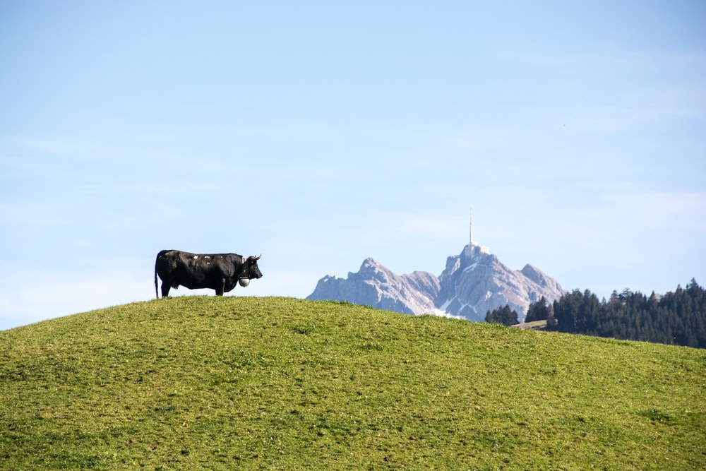 black cow on green grass lawn during daytime