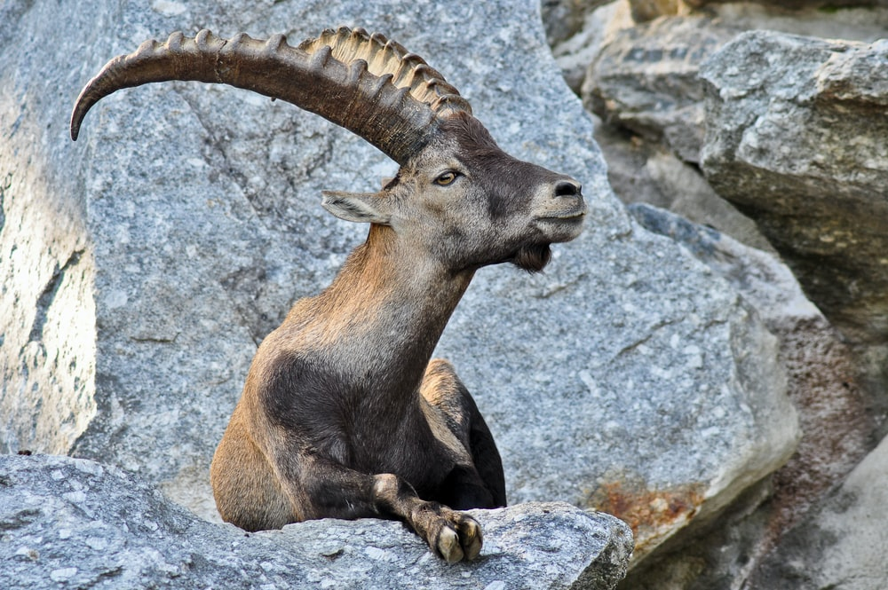 gray antelope