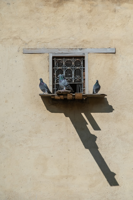 three pigeons on brown wooden ledge on window