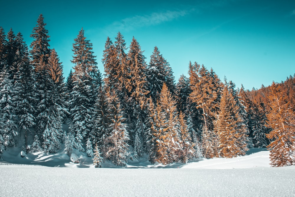 snow-covered brown trees