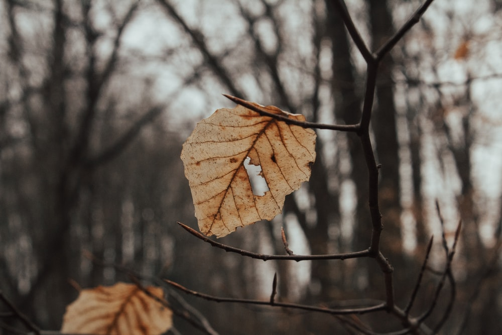 two brown dried leaves on tree branch