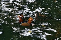 selective focus photography of male and female mandarin ducks on body of water