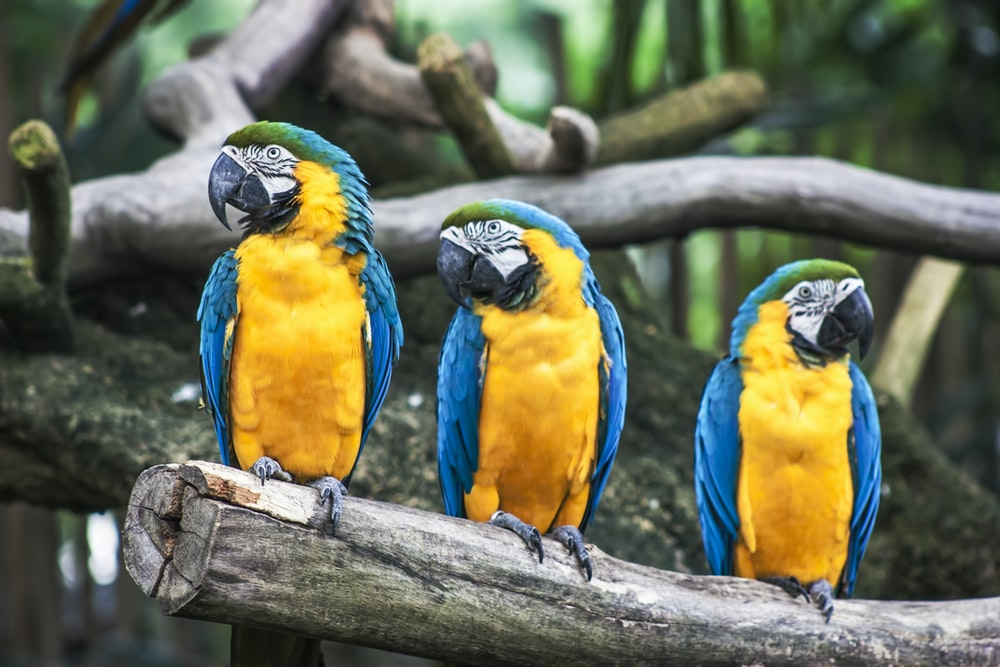three blue-and-yellow parrots on tree branch