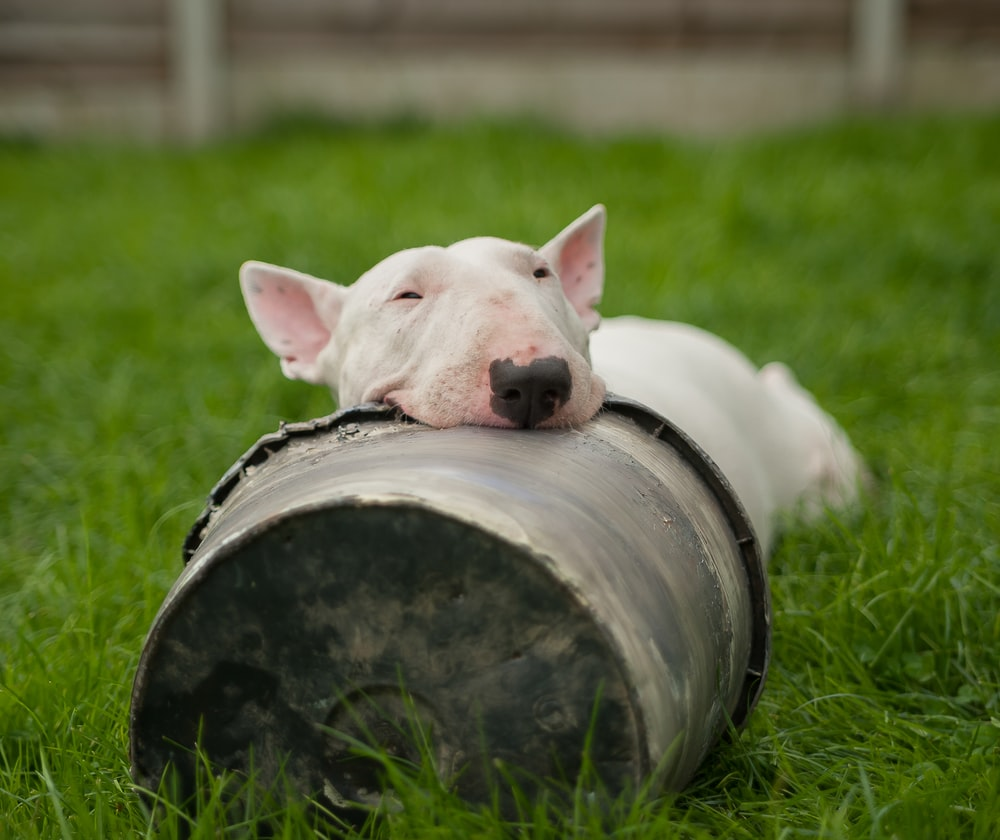white bull terrier lying on ground with head on bucket