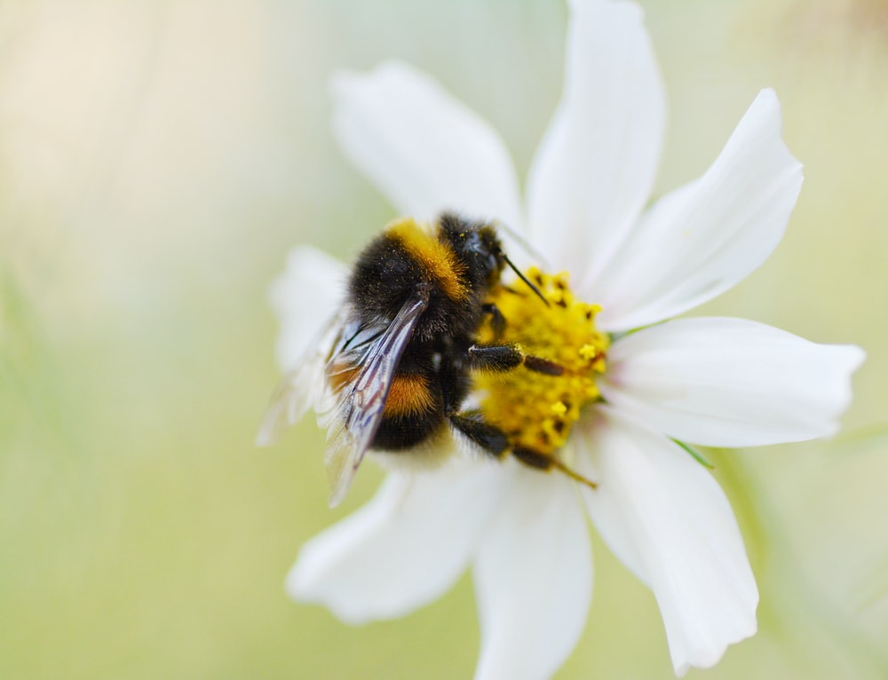 bee perching on white flower