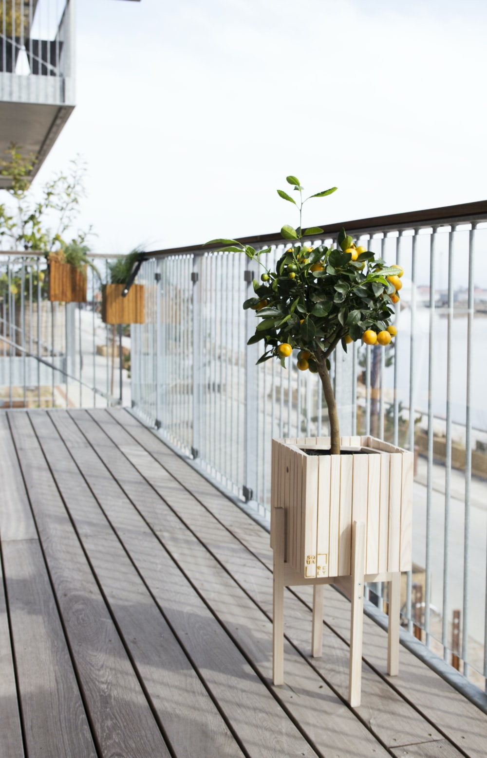 potted kumquat plant