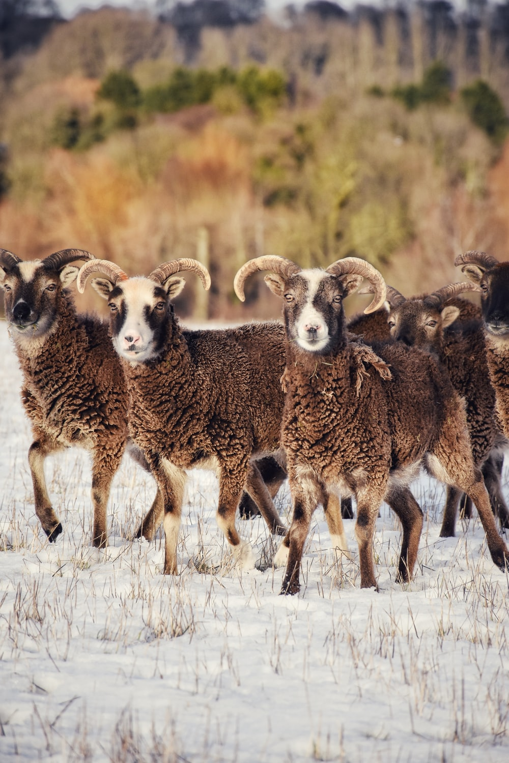 brown rams on snow covered field at daytime